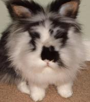 lionhead-rabbit