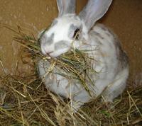 rabbit-hay