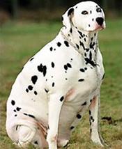 fat-dog