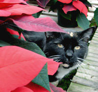 cat_poinsettia