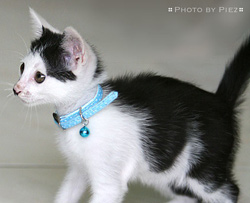 kitten with collar