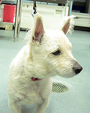 West-Highland-White-Terrier_Hohenhaus_WP