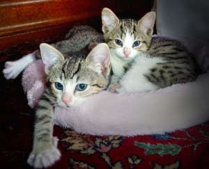 kittens-in-bed