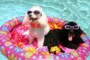dogs by the pool