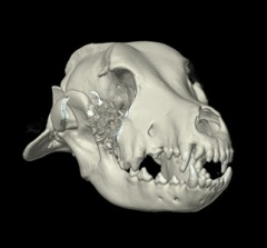 CT reconstruction of the skull of a dog with a jaw tumor