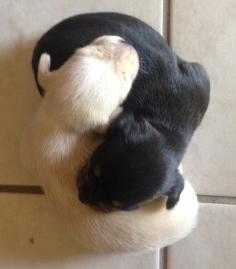 puppy-yinyang