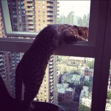 Cat peeks out an open high rise window