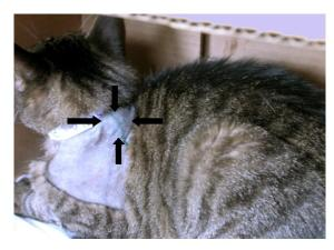 An injection site sarcoma in a cat just prior to surgical removal.