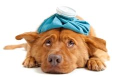 Dog flu/canine influenza